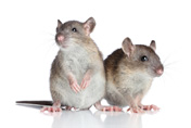 http://www.dreamstime.com/stock-photography-rats-white-background-image28074282